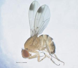 Mannetje van Drosophila suzukii